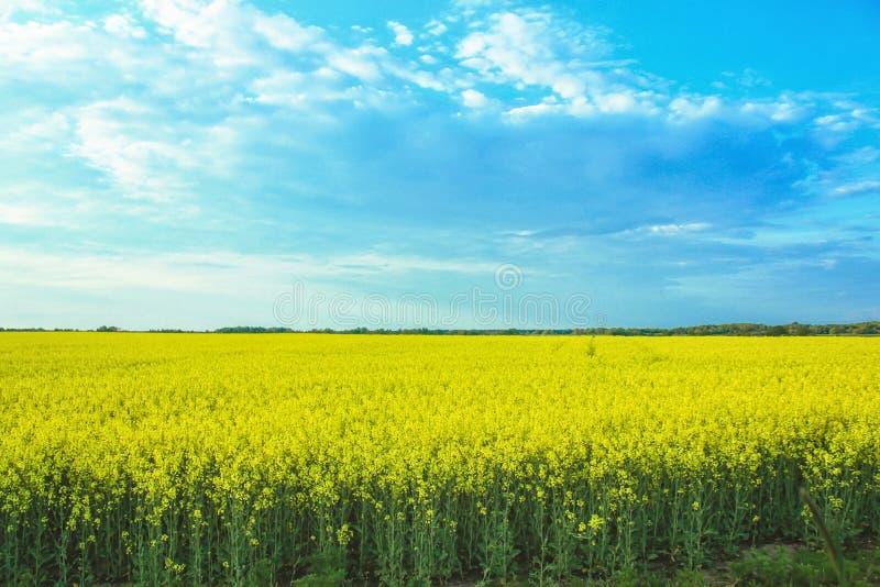 Paisaje increíble con un campo amarillo del rábano en un día soleado contra el cielo azul con las nubes imagenes de archivo