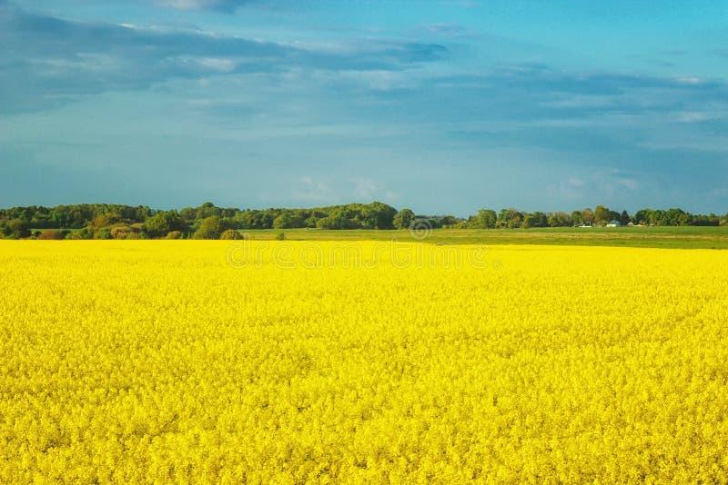 Paisaje increíble con un campo amarillo del rábano en un día soleado contra el cielo azul con las nubes fotos de archivo libres de regalías