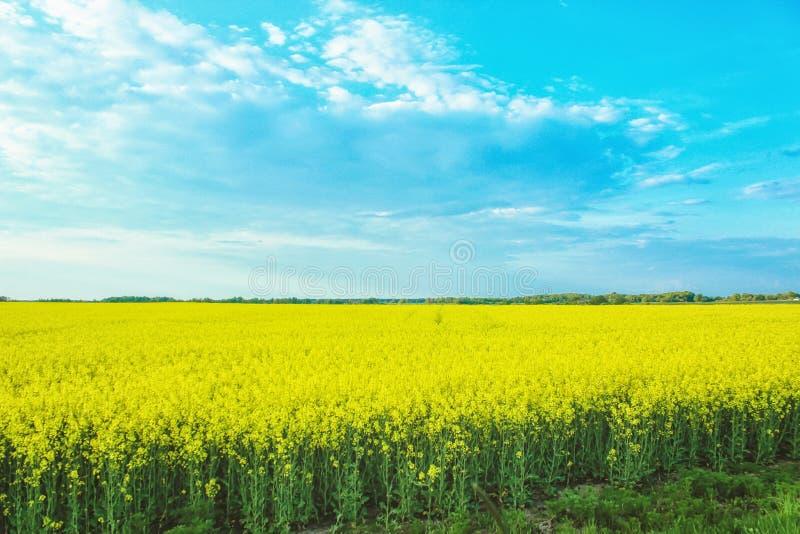 Paisaje increíble con un campo amarillo del rábano en un día soleado contra el cielo azul con las nubes foto de archivo libre de regalías