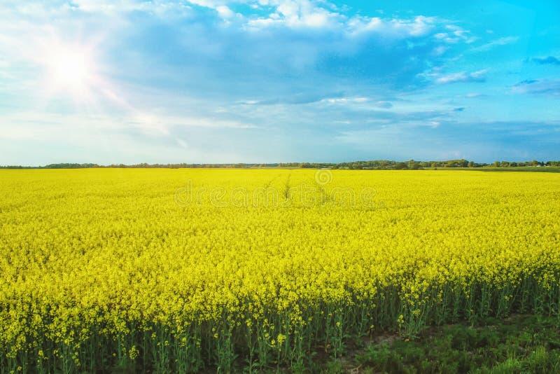 Paisaje increíble con un campo amarillo del rábano en un día soleado contra el cielo azul con las nubes fotografía de archivo libre de regalías