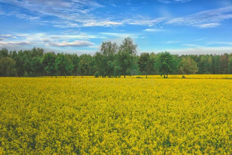 Paisaje increíble con un campo amarillo del rábano en un día soleado contra el cielo azul con las nubes imagen de archivo libre de regalías