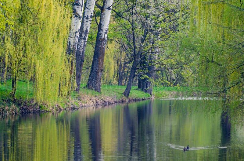 Paisaje, lago entre ?rboles en el arboreto Alexandr?a, Ucrania fotografía de archivo