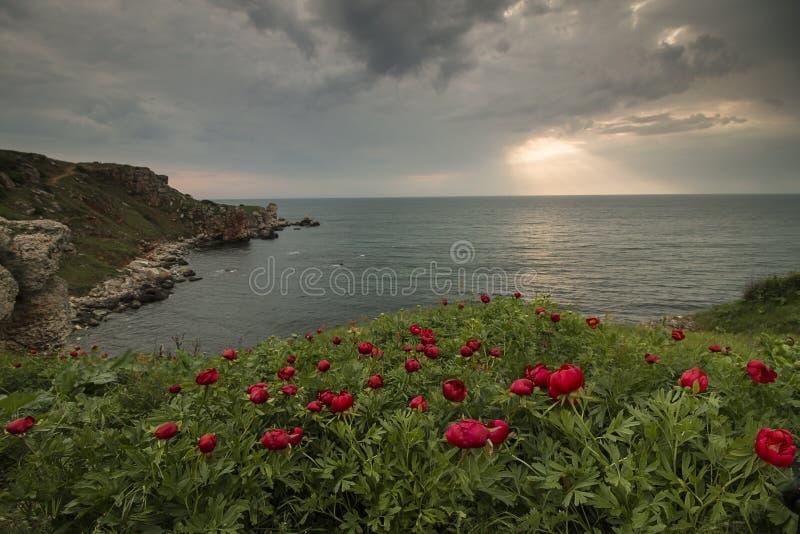 Paisaje marino con la opinión de la salida del sol de /Magnificent de las peonías con las peonías salvajes hermosas en la playa fotos de archivo libres de regalías