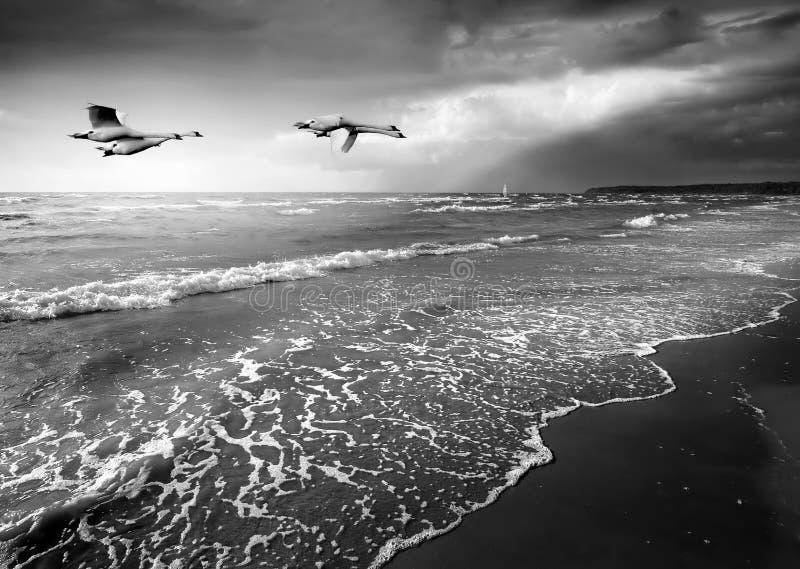 Paisaje marino con los cisnes fotografía de archivo libre de regalías