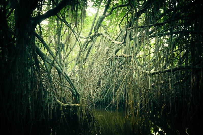 Paisaje misterioso de la selva tropical del mangle Sri Lanka imagen de archivo