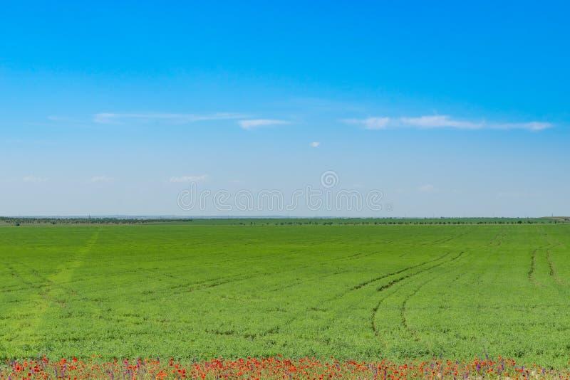 Paisaje natural con el campo verde, las amapolas rojas en el borde y el cielo azul imagenes de archivo
