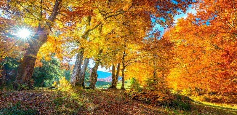 Paisaje otoñal - árboles altos de bosque dorado con luz solar, panorámico foto de archivo