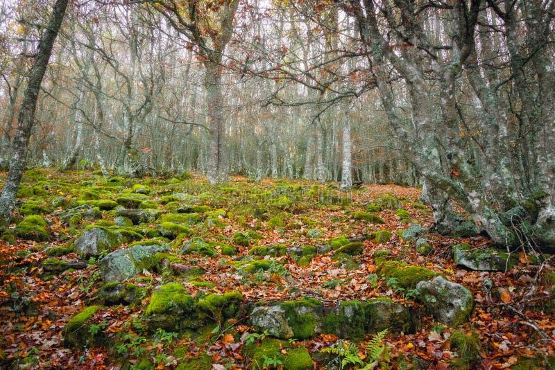 Paisaje otoñal del bosque de la haya con el musgo verde en las piedras Ujaperos imagenes de archivo