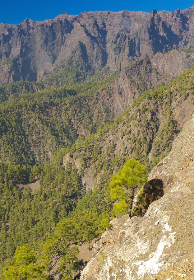 Paisaje rocoso con canariensis del pinus de los pinos foto de archivo libre de regalías