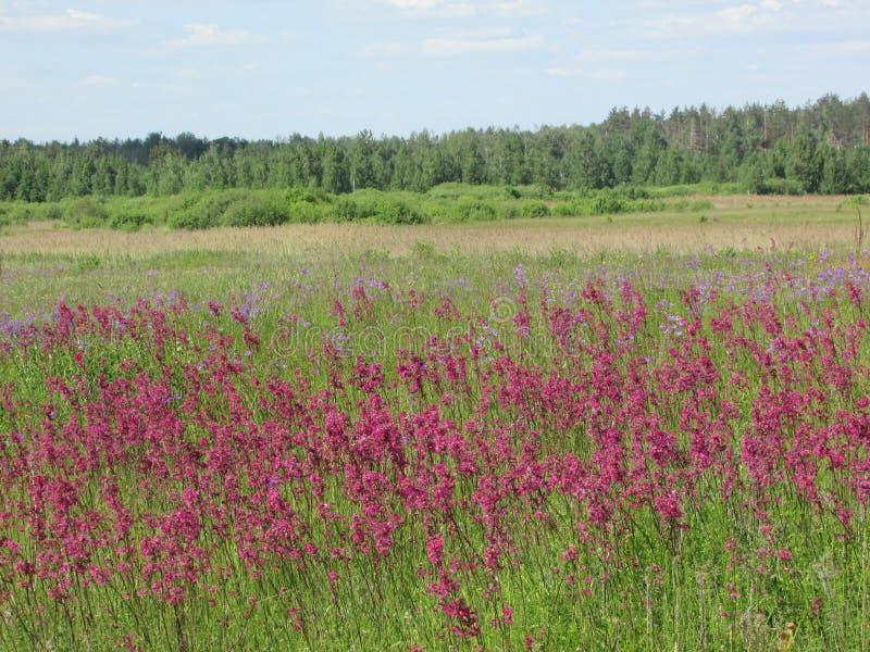 Paisaje rojo de las flores del campo de campos ucranianos imagen de archivo
