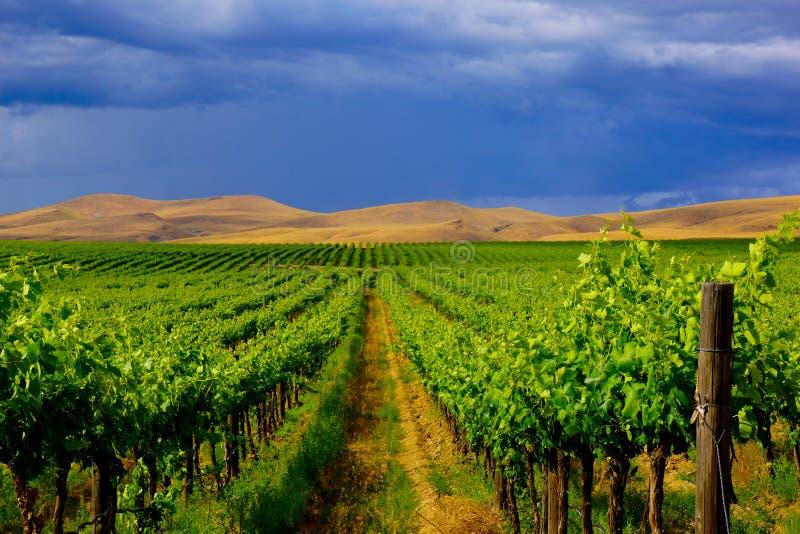 Paisaje Rolling Hills del viñedo contra el cielo oscuro fotografía de archivo