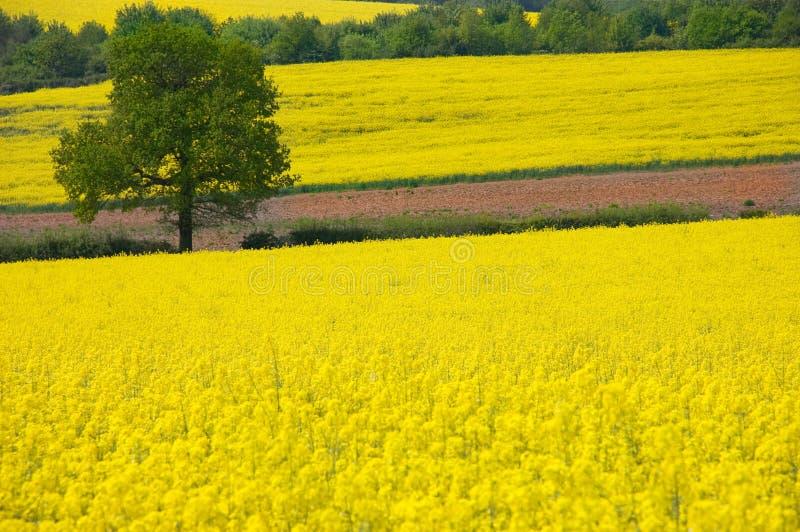 Paisaje rural amarillo de oro fotos de archivo