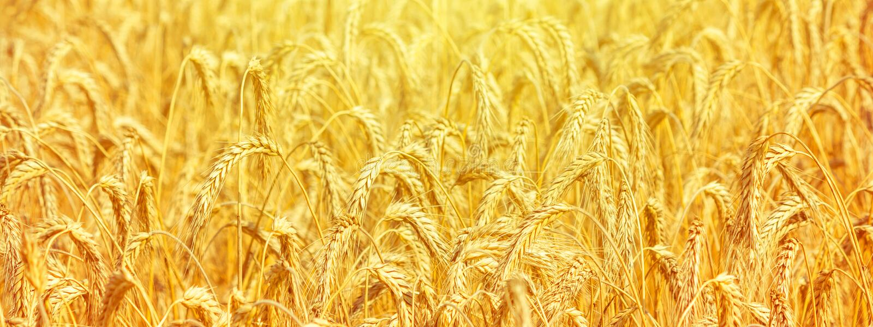 Paisaje rural - coloque el triticum aestivum del trigo com?n en los rayos del sol del verano imágenes de archivo libres de regalías