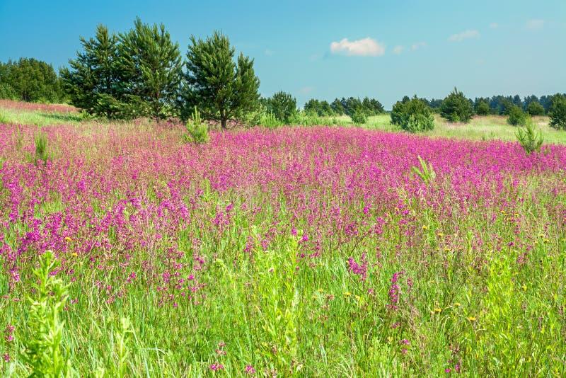 Paisaje rural con las flores rosadas florecientes en un prado fotos de archivo libres de regalías