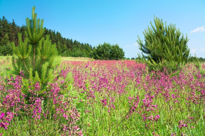 Paisaje rural con las flores rosadas florecientes en un prado imagen de archivo