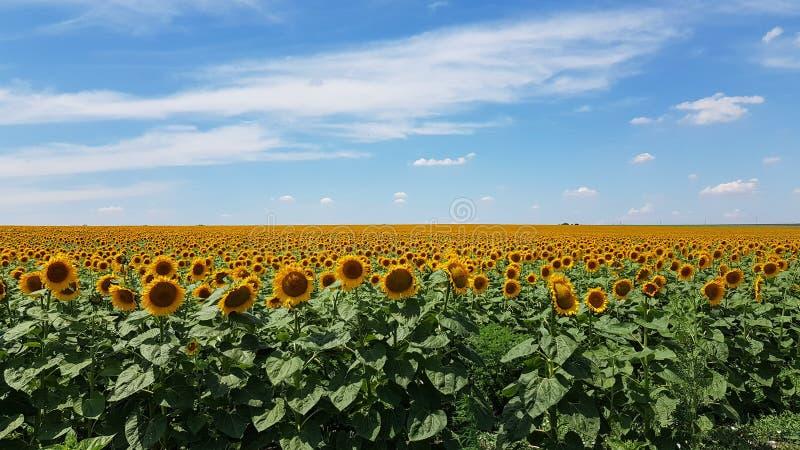 Paisaje rural del verano del campo en Ucrania Campo floreciente amarillo brillante del girasol común con el cloudscape sobre hori fotos de archivo libres de regalías