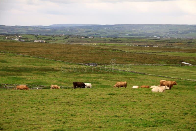 Paisaje rural irlandés con las vacas imágenes de archivo libres de regalías