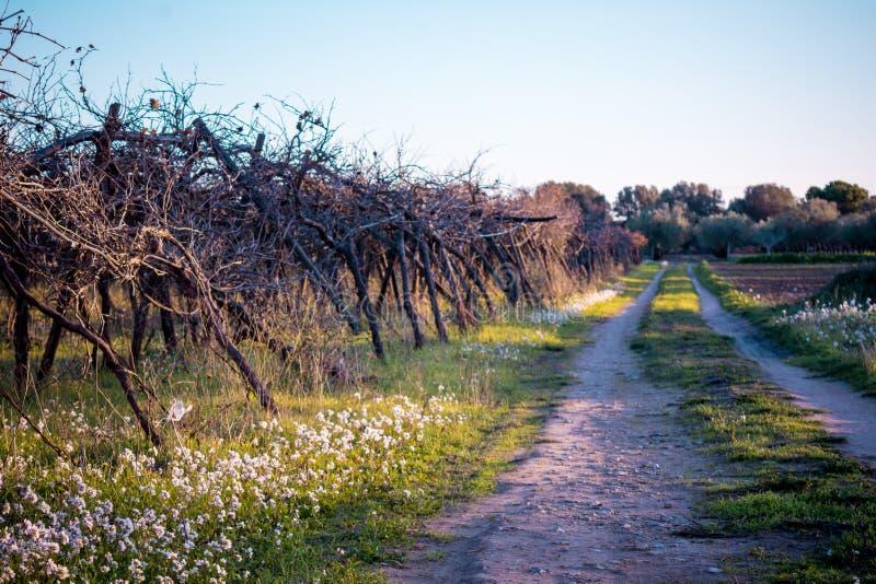 Paisaje rural italiano con una trayectoria cerca de una plantación de las uvas imagenes de archivo