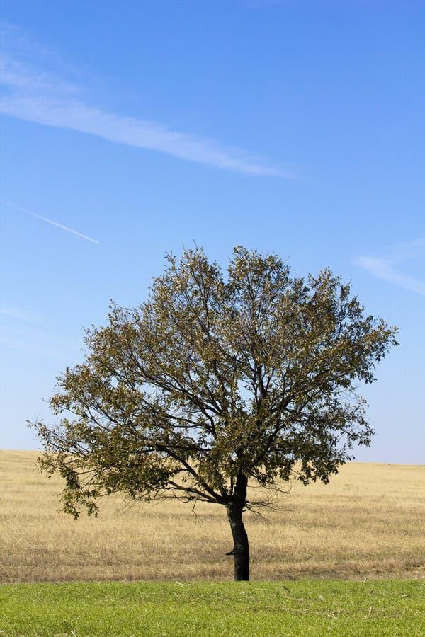 Paisaje solo del árbol fotografía de archivo libre de regalías