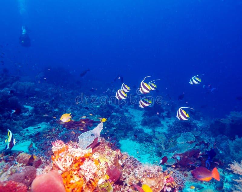 Paisaje subacuático con Bannerfishes fotografía de archivo libre de regalías