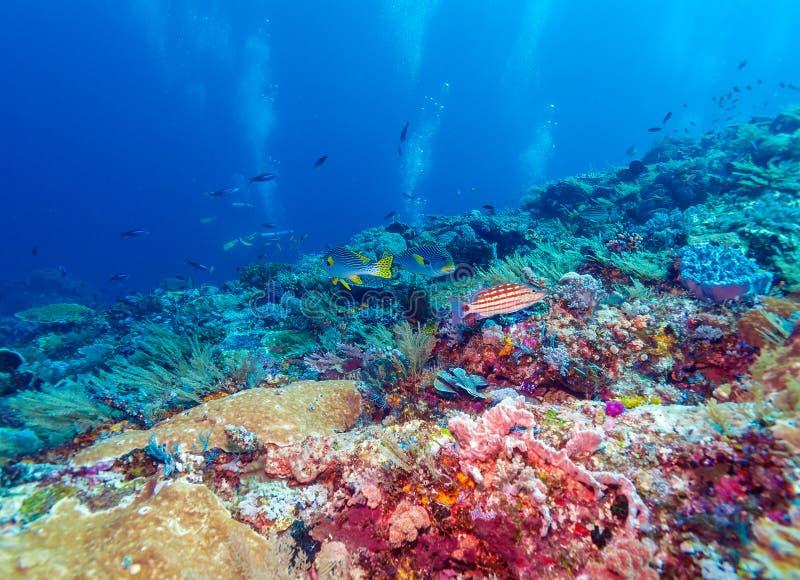 Paisaje subacuático con los pescados de Sweetlips fotos de archivo libres de regalías