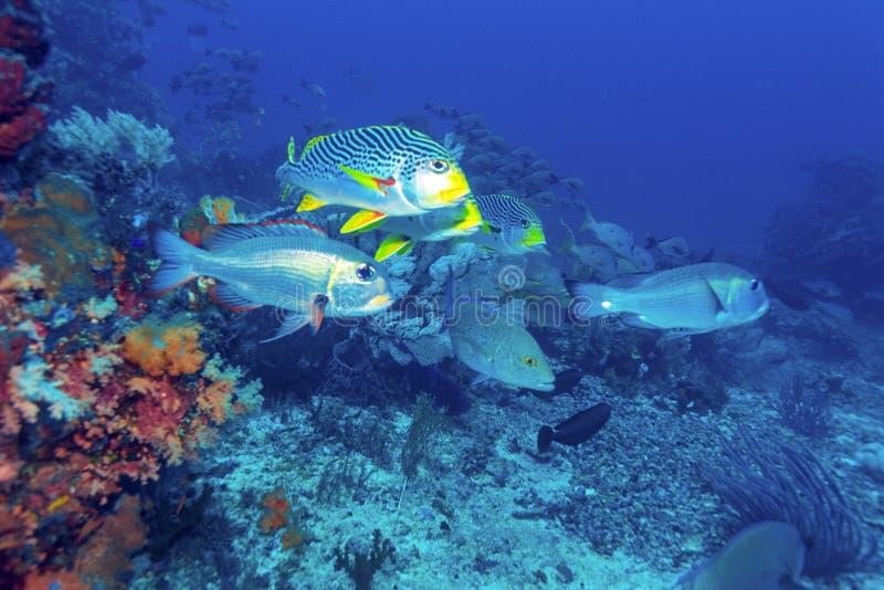 Paisaje subacuático con los pescados de Sweetlips foto de archivo libre de regalías