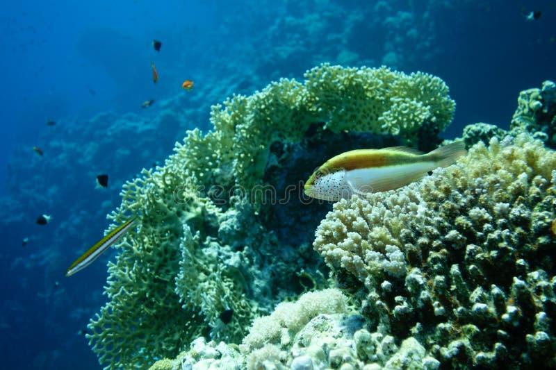 Paisaje subacuático de la vida en el Mar Rojo con Hawkfish pecoso imágenes de archivo libres de regalías