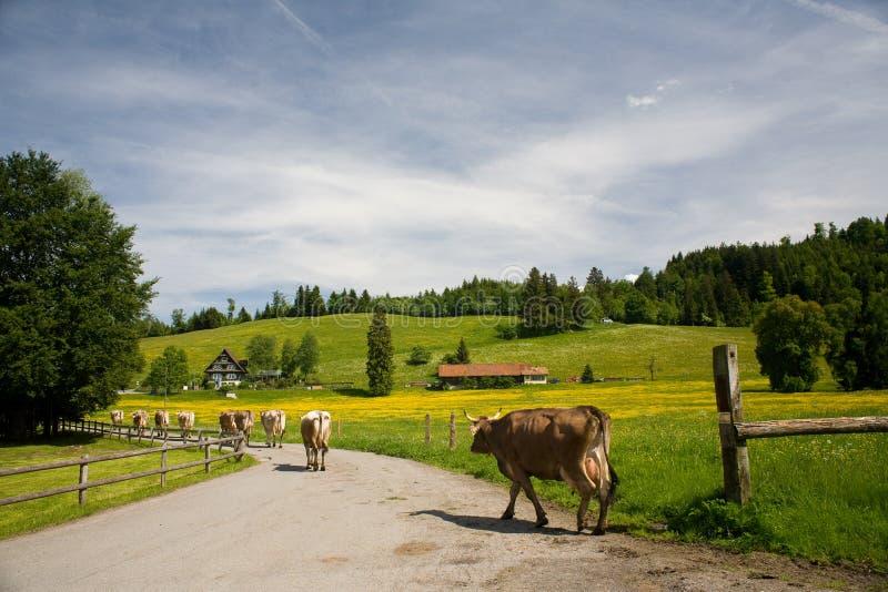 Paisaje suizo con las vacas fotografía de archivo libre de regalías