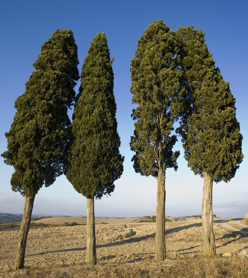 Paisaje toscano, Cypress foto de archivo