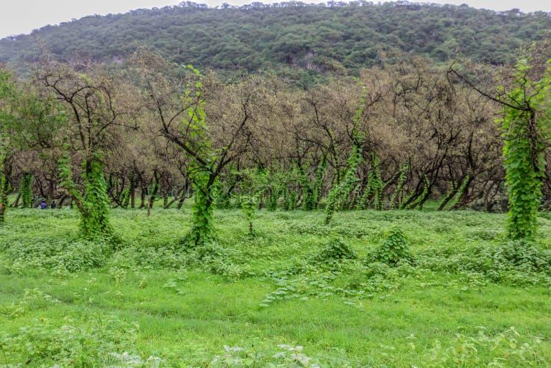 Paisaje verde enorme, ?rboles y monta?as de niebla en el centro tur?stico de Raysut, Salalah, Om?n fotos de archivo libres de regalías