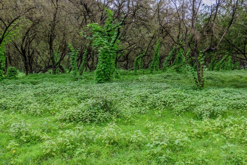 Paisaje verde enorme, ?rboles y monta?as de niebla en el centro tur?stico de Raysut, Salalah, Om?n imagenes de archivo