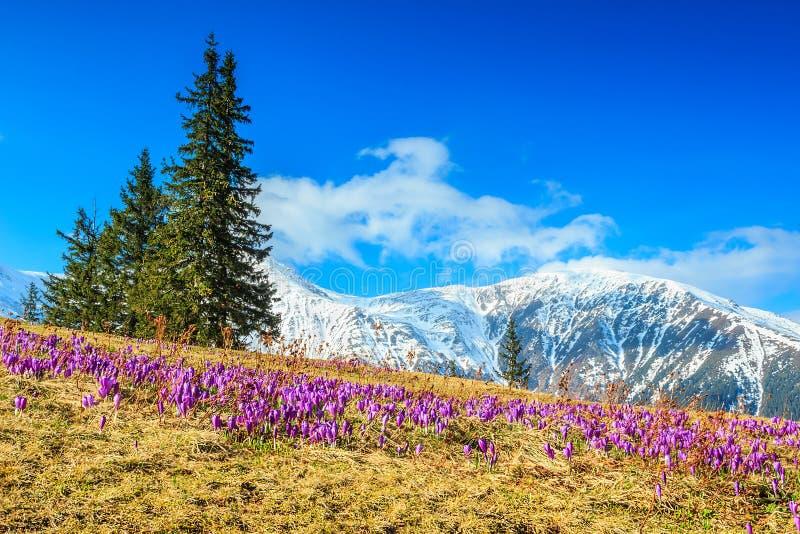 Paisaje y flores hermosas del azafrán, montañas de Fagaras, Cárpatos, Rumania de la primavera fotos de archivo libres de regalías