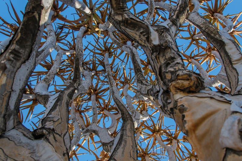Paisajes africanos - bosque Namibia del árbol del estremecimiento imágenes de archivo libres de regalías