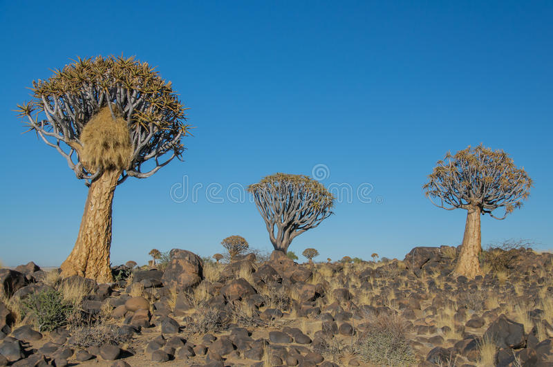 Paisajes africanos - bosque Namibia del árbol del estremecimiento fotografía de archivo libre de regalías