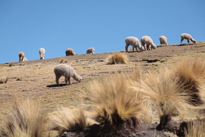Paisajes con alpacas en Perú fotos de archivo libres de regalías