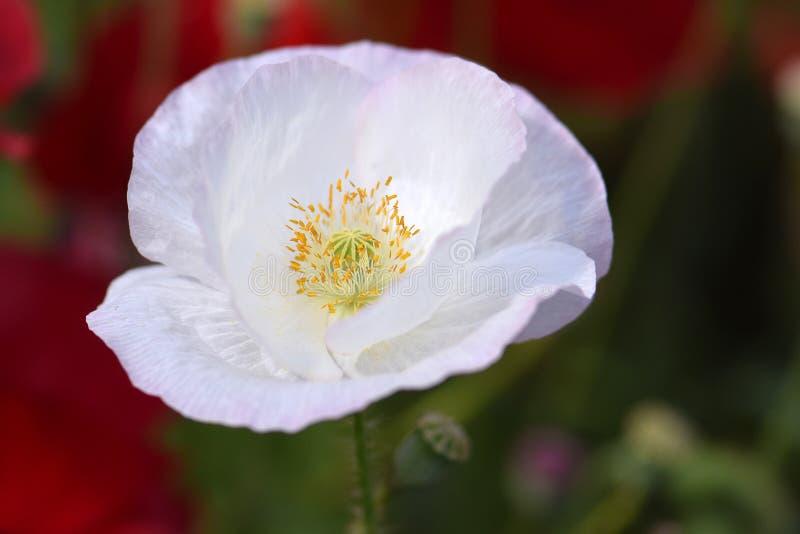 Paix blanche Flandre Poppy Flower photos stock