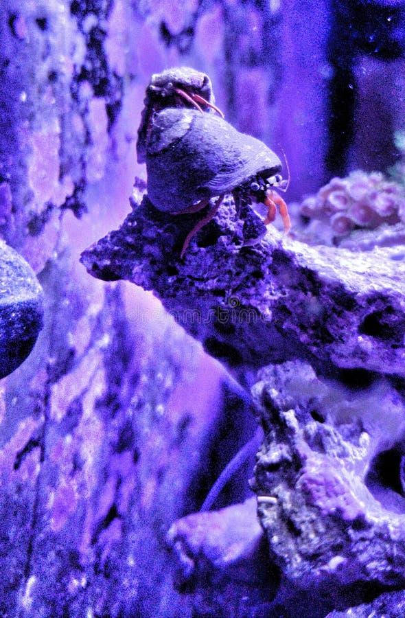 Paizinho Crabby fotografia de stock