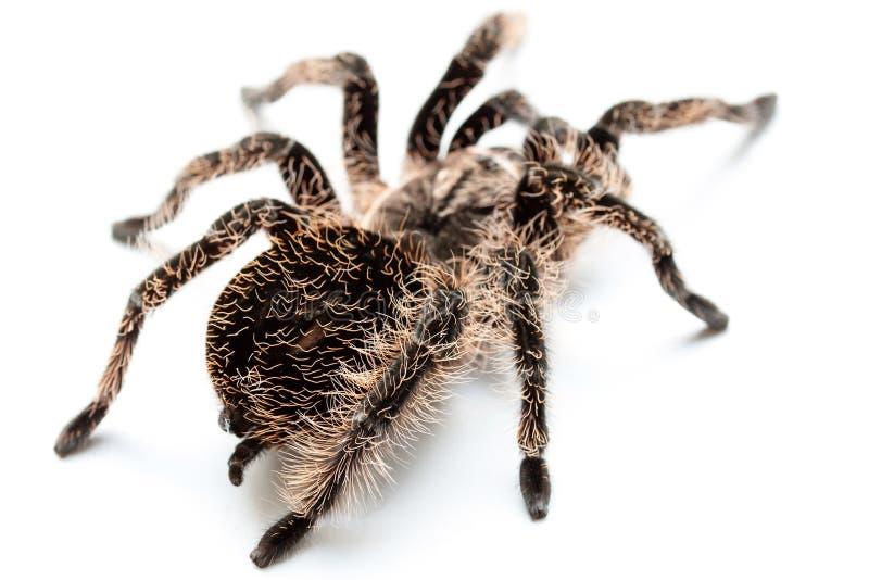 Pająk tarantula na bielu obrazy royalty free