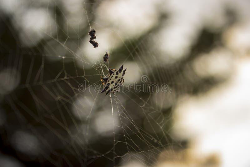 Pająków chwytający insekty w spiderweb fotografia stock