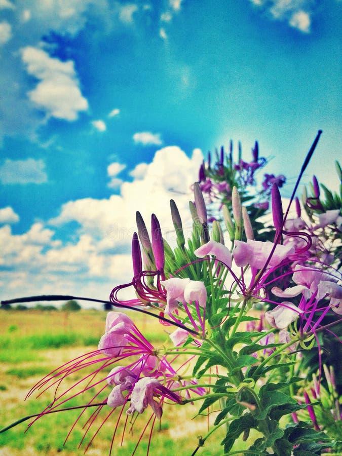 Pająków kwiaty (Cleome) zdjęcie stock