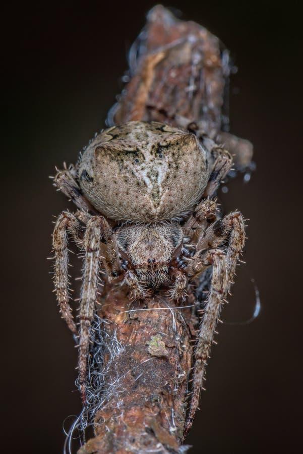 Pająk - Araneus Angulatus zdjęcie stock