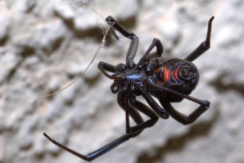pająk czarny żeńska wdowa zdjęcie royalty free