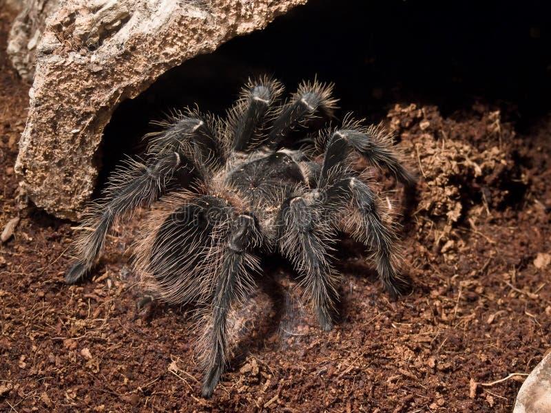pająk jedzący ptaka zdjęcia royalty free