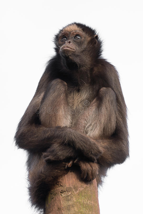 Pająk małpa obrazy royalty free