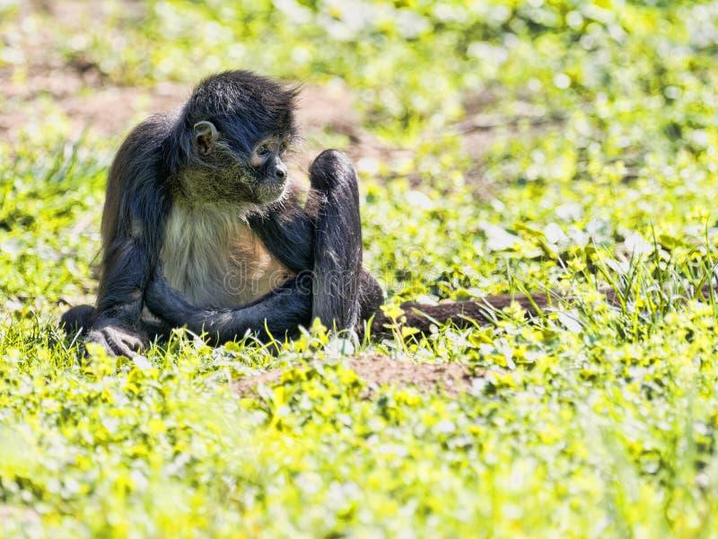 Pająk małpa, Ateles geoffroyi, wyjątkowo siedzi na ziemi obrazy stock