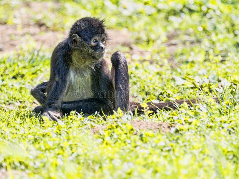 Pająk małpa, Ateles geoffroyi, wyjątkowo siedzi na ziemi obrazy royalty free