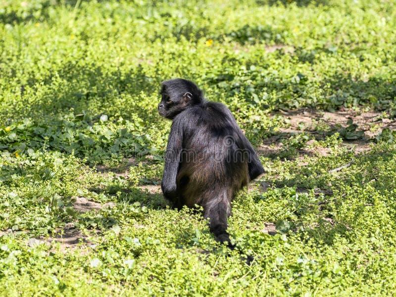 Pająk małpa, Ateles geoffroyi, wyjątkowo siedzi na ziemi zdjęcie royalty free