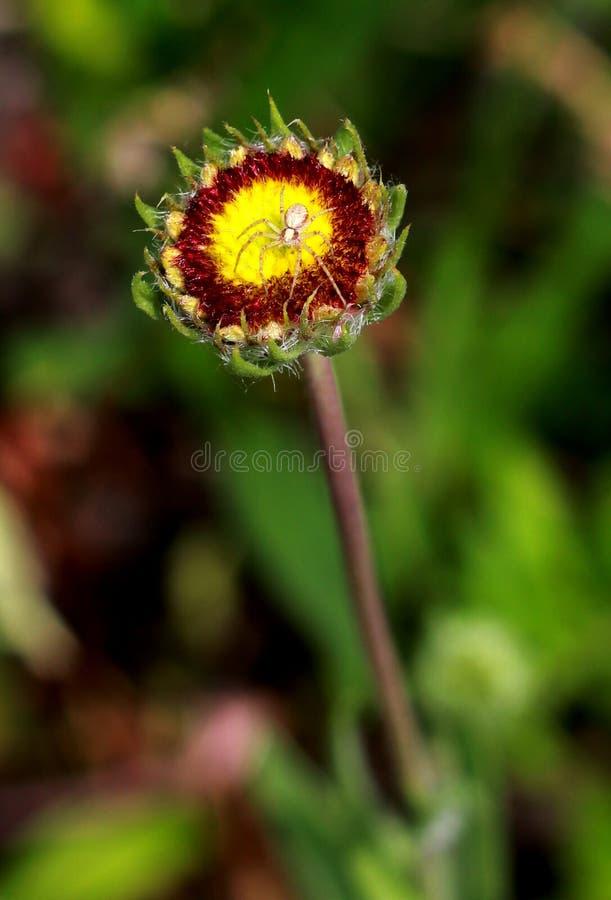 Pająk na kwiacie fotografia stock