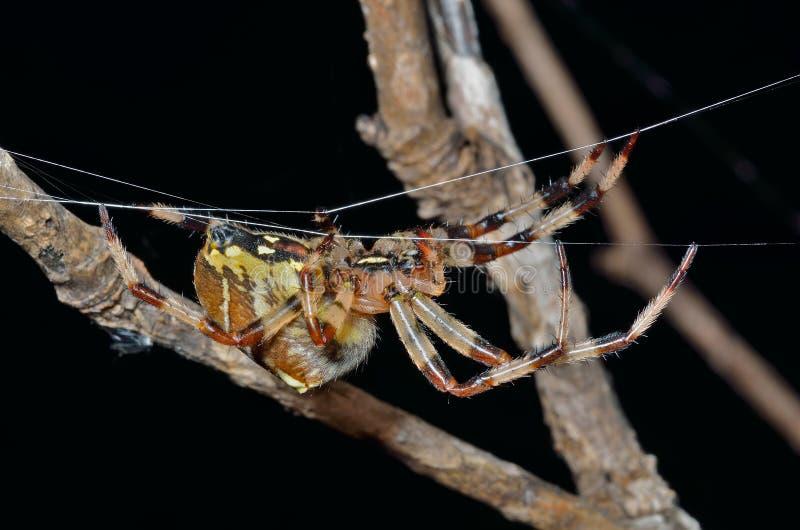 Pająk na pajęczynie 38 zdjęcia stock