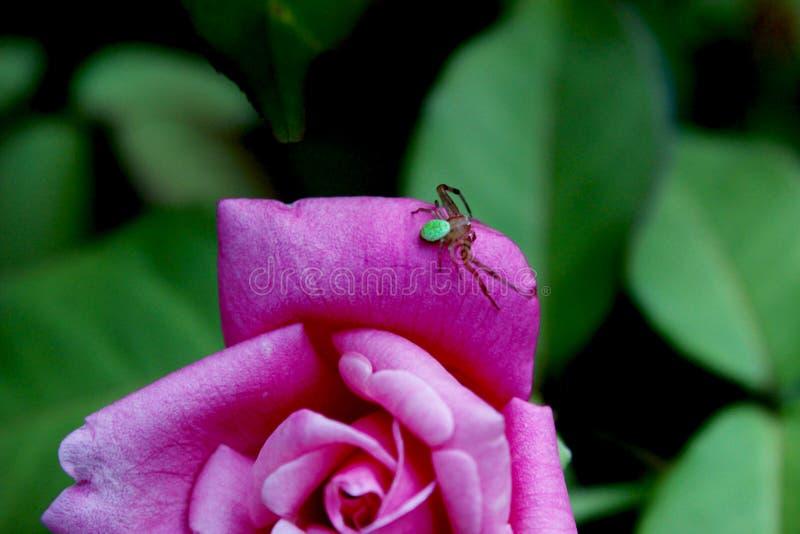 Pająk na róży fotografia stock